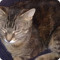 American Shorthair Cat for adoption in Hopkinsville, Kentucky - Bella
