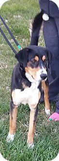 Border Collie/German Shepherd Dog Mix Dog for adoption in Iowa, Illinois and Wisconsin, Iowa - Benson