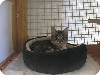 Domestic Mediumhair Kitten for adoption in Brea, California - MIA