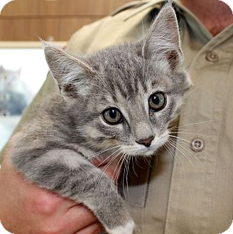 Domestic Shorthair Kitten for adoption in Edgewood, New Mexico - Chewie