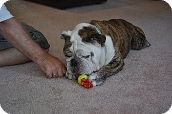 English Bulldog Dog for adoption in Odessa, Florida - Finn