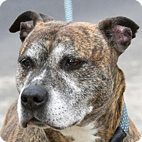 Adopt A Pet :: DINO - New Haven, CT