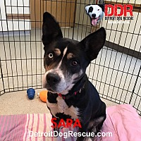 Adopt A Pet :: Sara - St. Clair Shores, MI