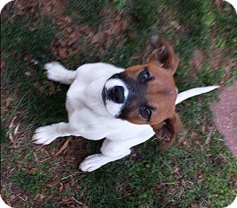 Boxer/Terrier (Unknown Type, Medium) Mix Puppy for adoption in Marion, North Carolina - Dottie