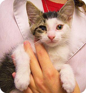 Domestic Shorthair Kitten for adoption in Toledo, Ohio - Doc