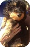 Poodle (Miniature)/Yorkie, Yorkshire Terrier Mix Dog for adoption in Manchester, Connecticut - Bambi ADOPTION PENDING