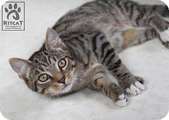 Domestic Shorthair Kitten for adoption in Lancaster, Massachusetts - Gretel