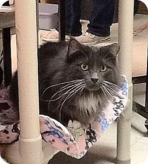 Domestic Mediumhair Cat for adoption in Milwaukee, Wisconsin - Minnie
