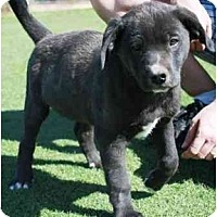Adopt A Pet :: Cabbott - Gilbert, AZ