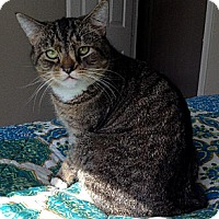 Domestic Shorthair Cat for adoption in Herndon, Virginia - Isabelle