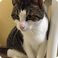 Domestic Shorthair Cat for adoption in Harrison, New York - Charlie