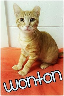 Domestic Shorthair Kitten for adoption in Huntington, New York - Wonton 2016210