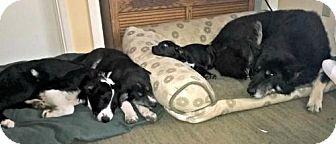 Australian Cattle Dog/Shepherd (Unknown Type) Mix Puppy for adoption in Yreka, California - Sachi