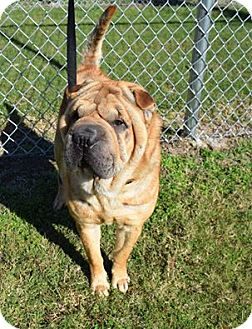Shar Pei Dog for adoption in Mira Loma, California - William Wallace in OK-pending