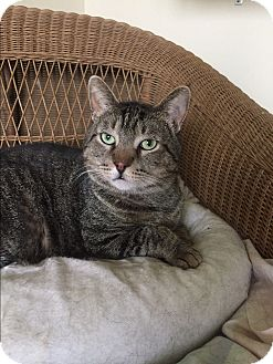 Domestic Shorthair Cat for adoption in Frankfort, Illinois - Marshall