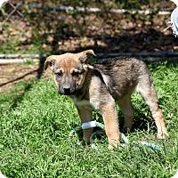 Adopt A Pet :: Fawn - Groton, MA