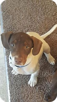 Basset Hound/Pointer Mix Puppy for adoption in Plainfield, Connecticut - Fletcher