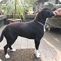 Adopt A Pet :: Kira - Gig Harbor, WA