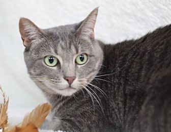 Domestic Shorthair Cat for adoption in Raleigh, North Carolina - Dulce