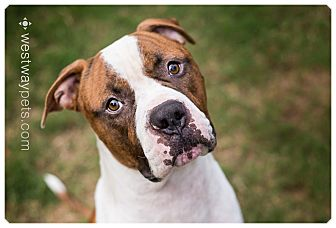 American Bulldog Mix Dog for adoption in Santee, California - Maxwell
