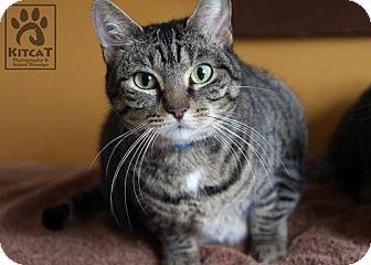 Domestic Shorthair Cat for adoption in Lancaster, Massachusetts - Peanut