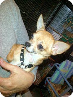 Chihuahua Dog for adoption in South Amboy, New Jersey - Bino (Bambino)