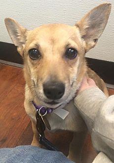 Corgi/Pomeranian Mix Dog for adoption in Oak Ridge, New Jersey - Ursa- LOVES DOGS!
