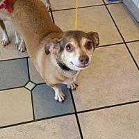 Dachshund Mix Dog for adoption in Scottsdale, Arizona - Lady4