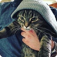 Adopt A Pet :: Kitty Smalls - Toronto, ON