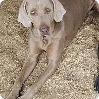 Adopt A Pet :: Stoney - Corona, CA