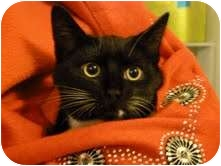 Domestic Shorthair Cat for adoption in Fredericton, New Brunswick - Banff
