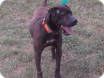 Shar Pei Mix Dog for adoption in Mira Loma, California - Ricky
