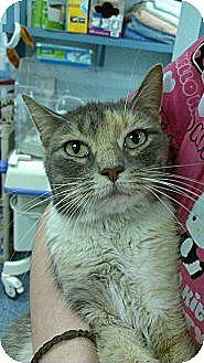 Domestic Shorthair Cat for adoption in Richboro, Pennsylvania - Helena Bonham Carter