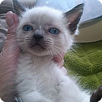 Adopt A Pet :: Snow White - Sterling Hgts, MI