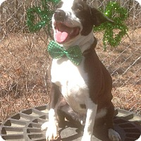 American Pit Bull Terrier/Border Collie Mix Dog for adoption in Tullahoma, Tennessee - Boomer