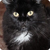 Domestic Longhair Cat for adoption in Savannah, Missouri - Ricardo