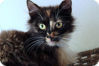 Domestic Longhair Cat for adoption in St. Louis, Missouri - Mable