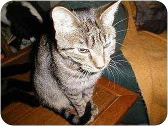 Domestic Shorthair Cat for adoption in Proctor, Minnesota - Clara