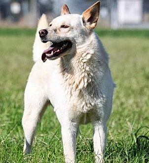 Spitz (Unknown Type, Medium) Mix Dog for adoption in Hooksett, New Hampshire - Spooky