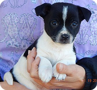Boston Terrier/Australian Shepherd Mix Puppy for adoption in West Sand Lake, New York - Duffy (3 lb) Video!
