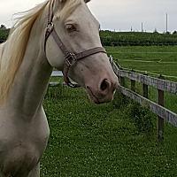 Adopt A Pet :: Amaretto - Sidell, IL
