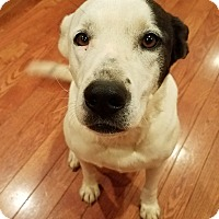Adopt A Pet :: Bella (COURTESY POST) - Baltimore, MD
