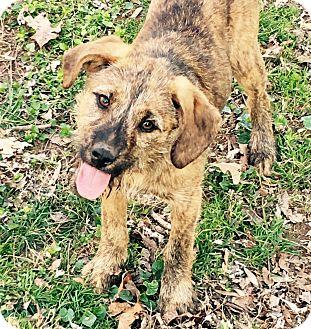 Labrador Retriever Mix Puppy for adoption in Yadkinville, North Carolina - Anita (Pointer Sisters)