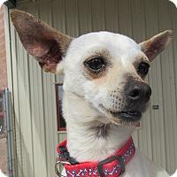 Adopt A Pet :: Chiwee - Sierra Vista, AZ