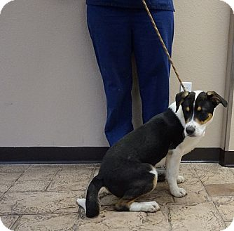 Bernese Mountain Dog/Australian Cattle Dog Mix Puppy for adoption in Oviedo, Florida - Reggie