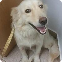 Adopt A Pet :: Sophie - Danbury, CT