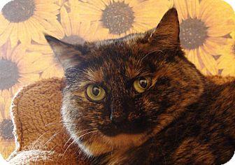 Domestic Shorthair Cat for adoption in Albany, New York - Tashi