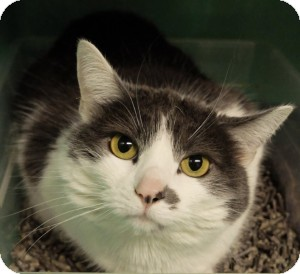 Domestic Shorthair Cat for adoption in Medford, Massachusetts - Minu