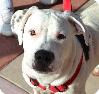 American Staffordshire Terrier Mix Puppy for adoption in Gilbert, Arizona - Coda