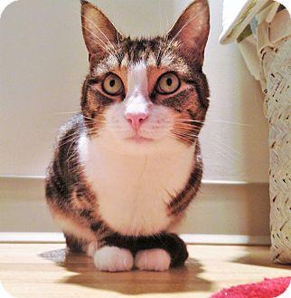 Domestic Shorthair Cat for adoption in Saanichton, British Columbia - Pauline